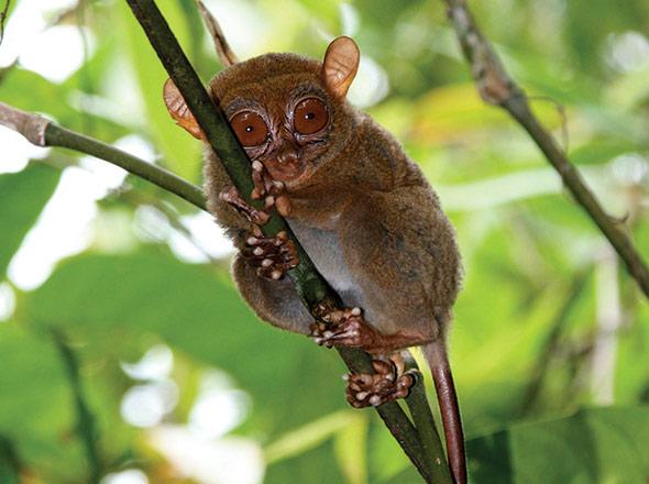The Dinagat tarsier
